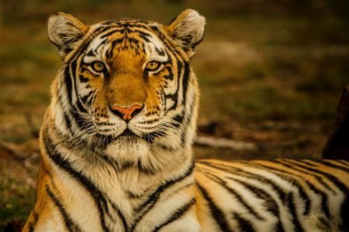 Harimau terancam punah 5 Tanda Kepunahan Massal Keenam