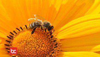 Sengatan Lebah Menurut Percobaan Sains
