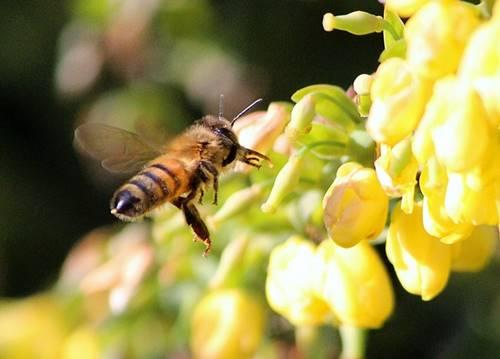 Bagian sengat lebah di bagian ujung tubuhnya
