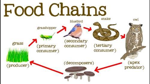 Rantai Makanan proses Lengkap dari produsen konsumen hingga pengurai