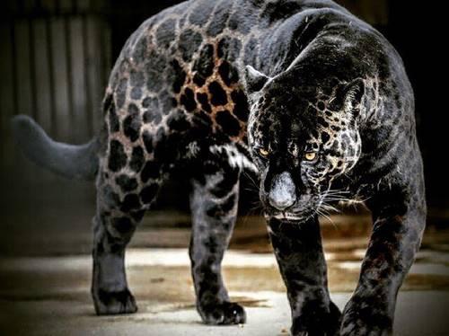 hewan hibrida persilangan Jaguar dan Singa