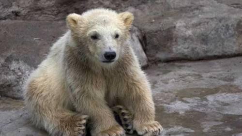 hewan hibrida persilangan dua jenis beruang