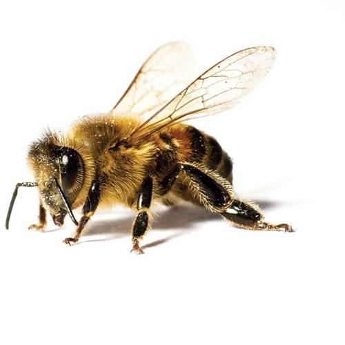 lebah pembunuh ternyata persilangan dari lebah madu Afrika
