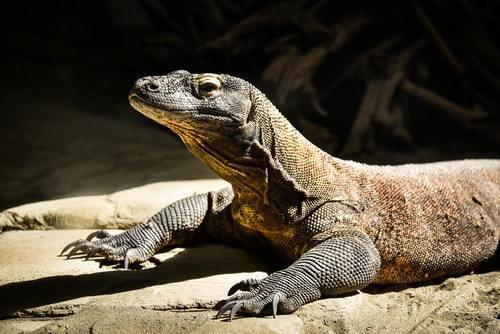 Hewan Prasejarah Komodo