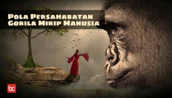 Fakta Menarik Pola Persahabatan Gorila Mirip Manusia