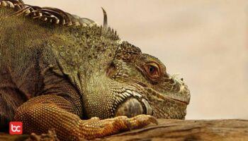 Harus Tahu! 5 Spesies Kadal Paling Mematikan