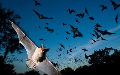 Migrasi Kelelawar