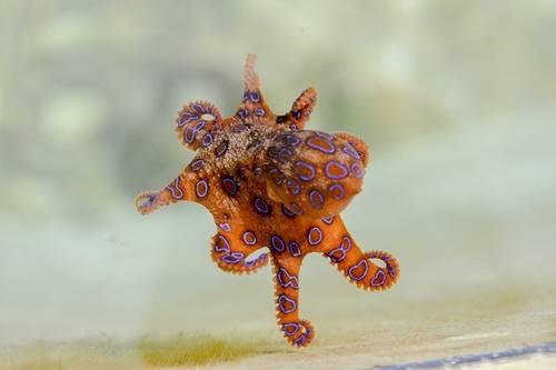 hewan lucu gurita bercincin biru mematikan