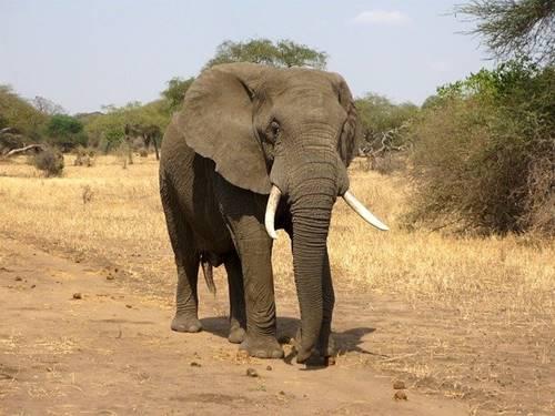 Gajah berbadan besar dan memang berbahaya jika terancam