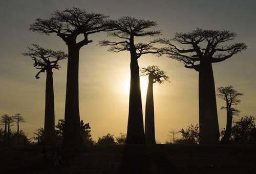 bentuk pohon besar di pulau Madagaskar dekat samudra hindia