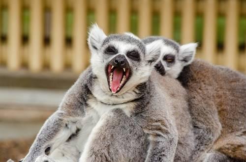 hewan primata yang berbisa