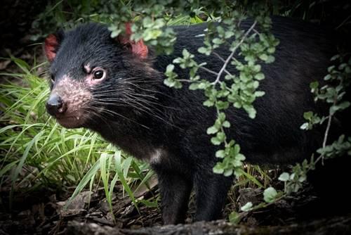 Setan tasmania mirip tikus hanya berbadan lebih besar