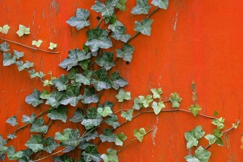 Daun Ivy merambat di tembok