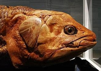 Hewan Coelacanth