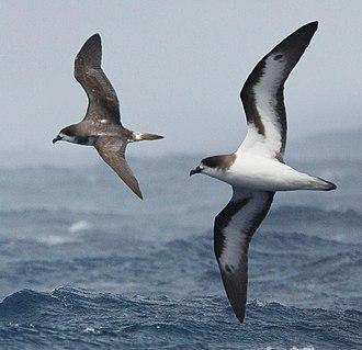 Burung Laut Bermuda