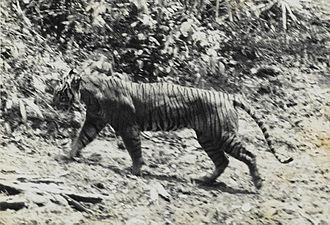 Hewan Harimau Jawa