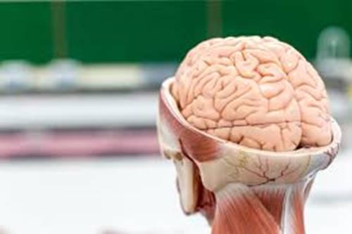 organ otak manusia juga dipamerkan untuk keperluan sains