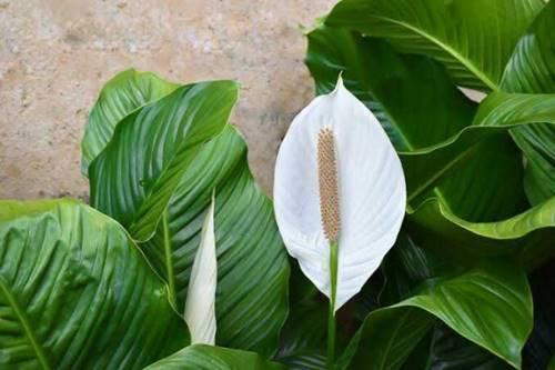 tanaman Lily Putih ternyata beracun jika dimakan
