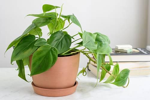 tanaman hias rumahan Philodendron  juga beracun jika dimakan