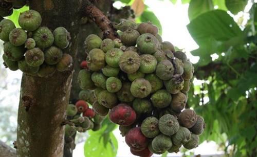 Pohon Tin juga tumbuhan yang hidup lama di Bumi