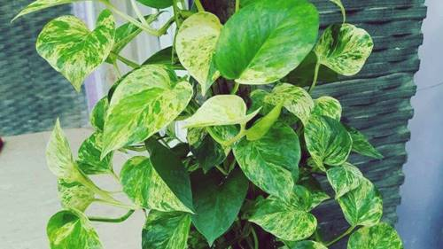 tanaman sirih gading dalam sebuah pot
