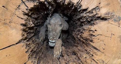 seekor Anjing menjadi penemuan unik karena menjadi mumi di dalam pohon