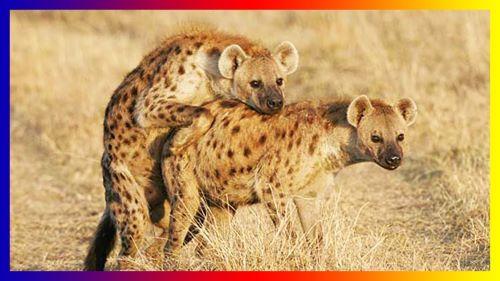 Sepasang Hyena