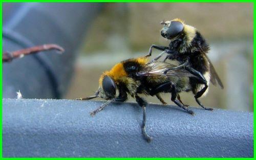 Pasangan Lebah Madu