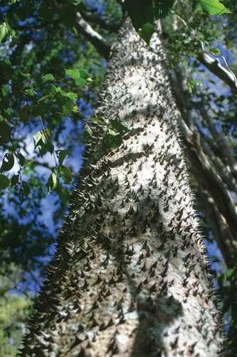 Inilah 5 Pohon Mematikan yang Akan Membunuhmu Seketika!
