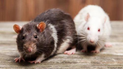 Tikus Hewan Yang Dapat Menguasai Bumi