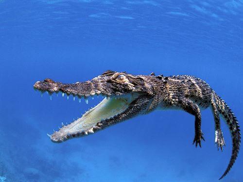 Crocodile, Hewan Paling Berbahaya Di Bumi