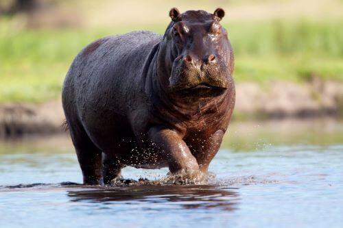 Hippo, Hewan Paling Berbahaya Di Dunia