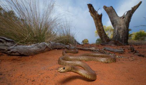 Snake Western Taipan