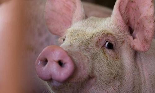 Hewan Bawa Virus Babi