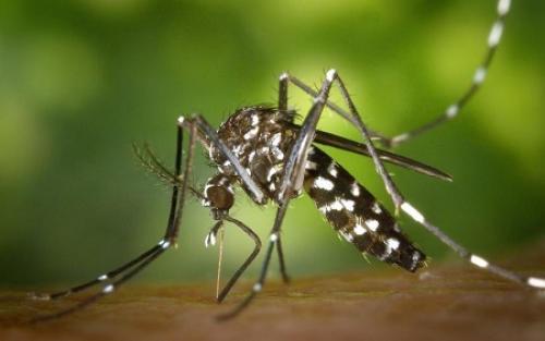 Hewan Bawa Virus Nyamuk
