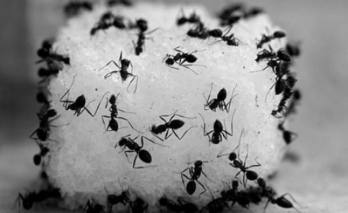 Fakta Menarik Semut Ada Pembagian Kerja yang Jelas