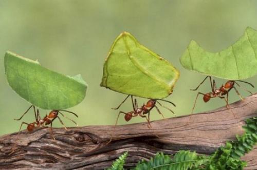 Fakta Menarik Semut Mampu Angkat Bobot Berat