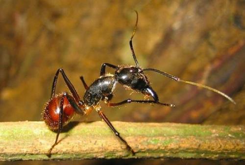 Fakta Menarik Semut Meledakkan Diri
